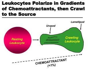 Leukocytes Polarize in Gradients of Chemoattractants, then Crawl to the Source