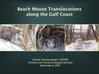Beach Mouse Translocations           along the Gulf Coast