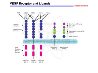 VEGF Receptor and Ligands
