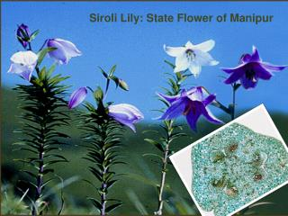 Siroli  Lily: State Flower of Manipur