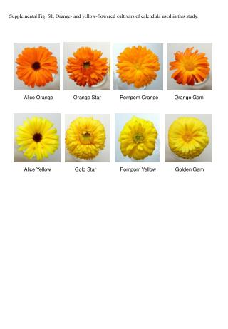 Supplemental Fig. S1. Orange- and yellow-flowered cultivars of calendula used in this study.
