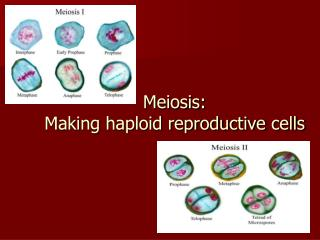 Meiosis: Making haploid reproductive cells