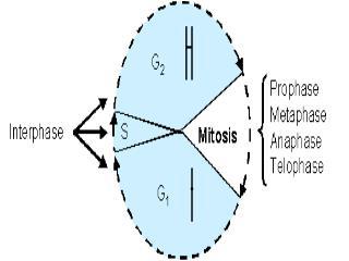 10.2     Eukaryotic Cell Cycle