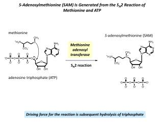 S-Adenosylmethionine (SAM) Is Generated from the S N 2 Reaction of Methionine and ATP