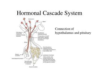 Hormonal Cascade System