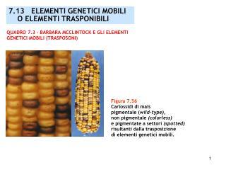 Figura 7.56 Cariossidi di mais  pigmentale ( wild-type),  non pigmentale  (colorless)