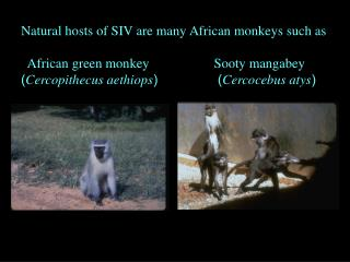 Natural hosts of SIV are many African monkeys such as