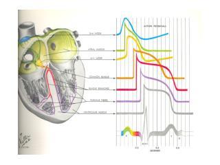 Mechanisms of Tachycardias