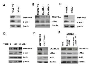 DNA-PKcs c-Myc -actin