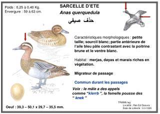 SARCELLE D�ETE Anas querquedula