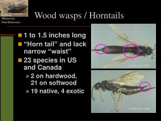 Wood wasps / Horntails