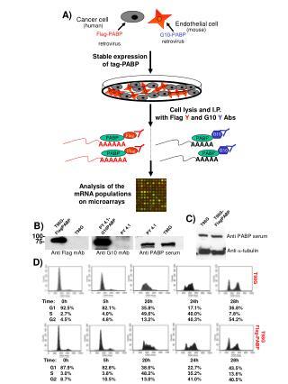 G10-PABP retrovirus