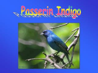 Passerin Indigo