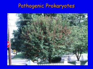 Pathogenic Prokaryotes
