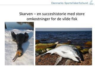Skarven – en succeshistorie med store omkostninger for de vilde fisk