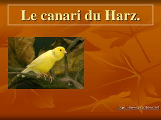 Le canari du Harz.