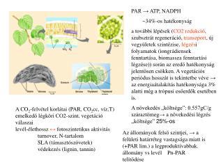 PAR → ATP, NADPH         ~34%-os hatékonyság