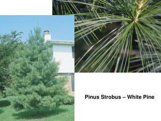 Pinus Strobus – White Pine