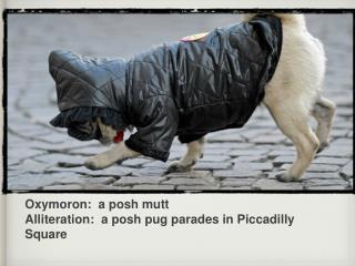 Oxymoron:  a posh mutt Alliteration:  a posh pug parades in Piccadilly Square
