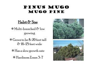 Pinus Mugo Mugo Pine