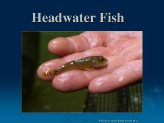 Headwater Fish