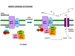 NADPH OXIDASE ACTIVATION