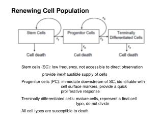 Stem cells (SC): low frequency, not accessible to direct observation