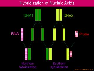 Hybridization of Nucleic Acids