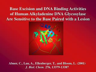 Base Excision and DNA Binding Activities of Human Alkyladenine DNA Glycosylase