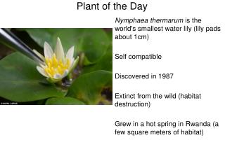 Nymphaea thermarum  is the world's smallest water lily (lily pads about 1cm) Self compatible