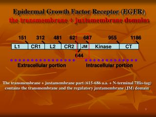 Epidermal Growth Factor Receptor (EGFR) the transmembrane + juxtamembrane domains