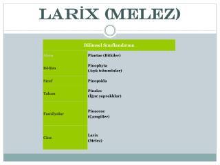LARİX (MELEZ)
