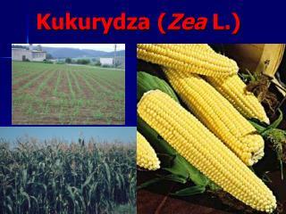 Kukurydza ( Zea  L.)
