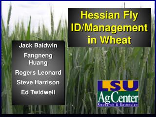 Hessian Fly ID/Management  in Wheat