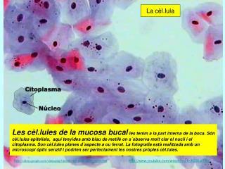 La cèl.lula
