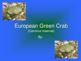 European Green Crab (Carcinus maenas)