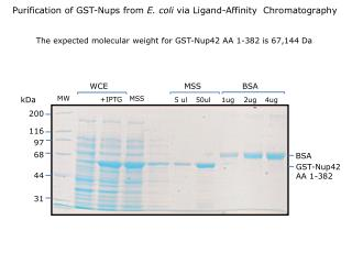 The expected molecular weight for GST-Nup42 AA 1-382 is 67,144 Da