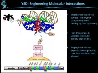 YSD: Engineering Molecular Interactions