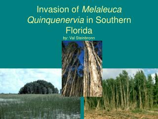 Invasion of  Melaleuca Quinquenervia  in Southern Florida  by: Val Steinbronn