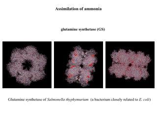 Assimilation of ammonia
