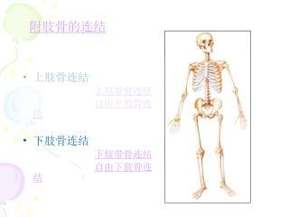 上肢骨连结 上肢带骨连结 自由上肢骨连结 下肢骨连结 下肢带骨连结 自由下肢骨连结