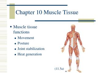 Chapter 10 Muscle Tissue