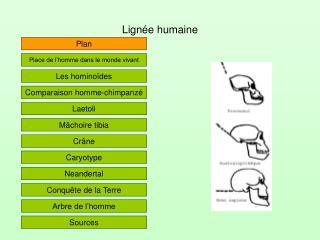 Lign e humaine