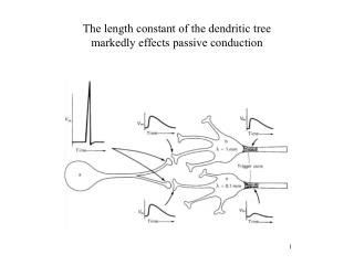 The length constant of the dendritic tree markedly effects passive conduction