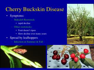 Cherry Buckskin Disease