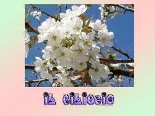 Le ciliegie si dividono in due specie ben distinte:  dolci  ed  acide .