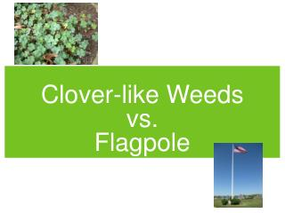 Clover-like Weeds  vs.  Flagpole
