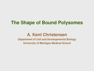 The Shape of Bound Polysomes