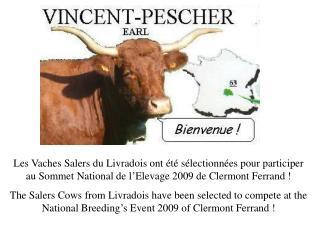 Die Salers Kühe von Livradois sind ausgewählt worden zu konkurrieren
