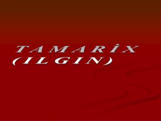 TAMARİX  (ILGIN)